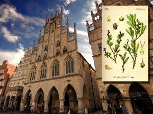 Stadhuis van Münster, met rechts daarvan de Gruetgasse. Inzet: gagel. Bron: Wikipedia